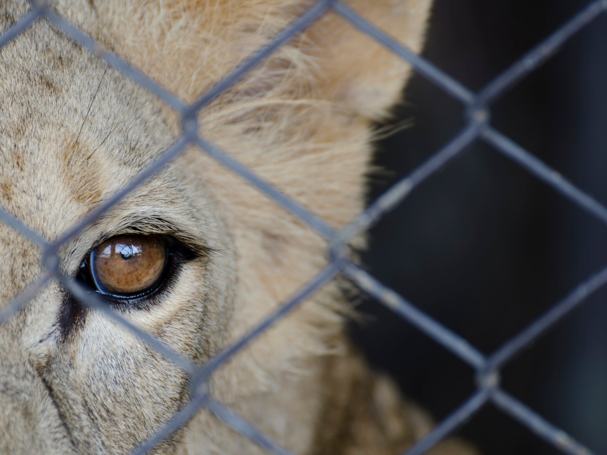 British hunters encouraged by killing of Cecil the lion to shoot more big cats in South Africa's deadly breeding farms