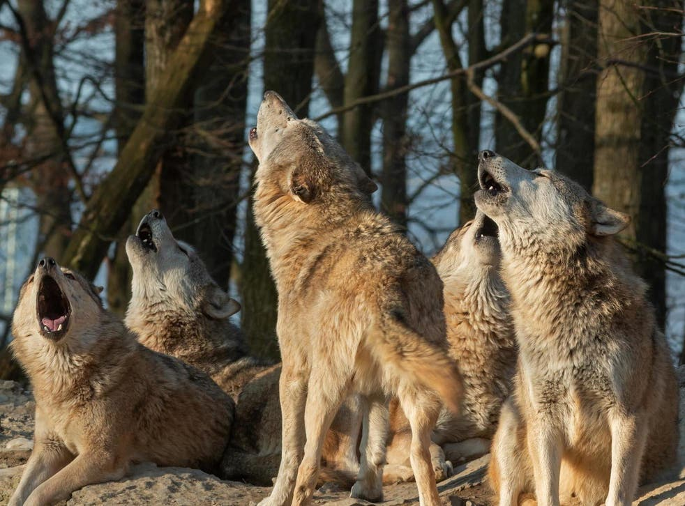 Grimm truth: some politicians are comparing wolves to immigrants