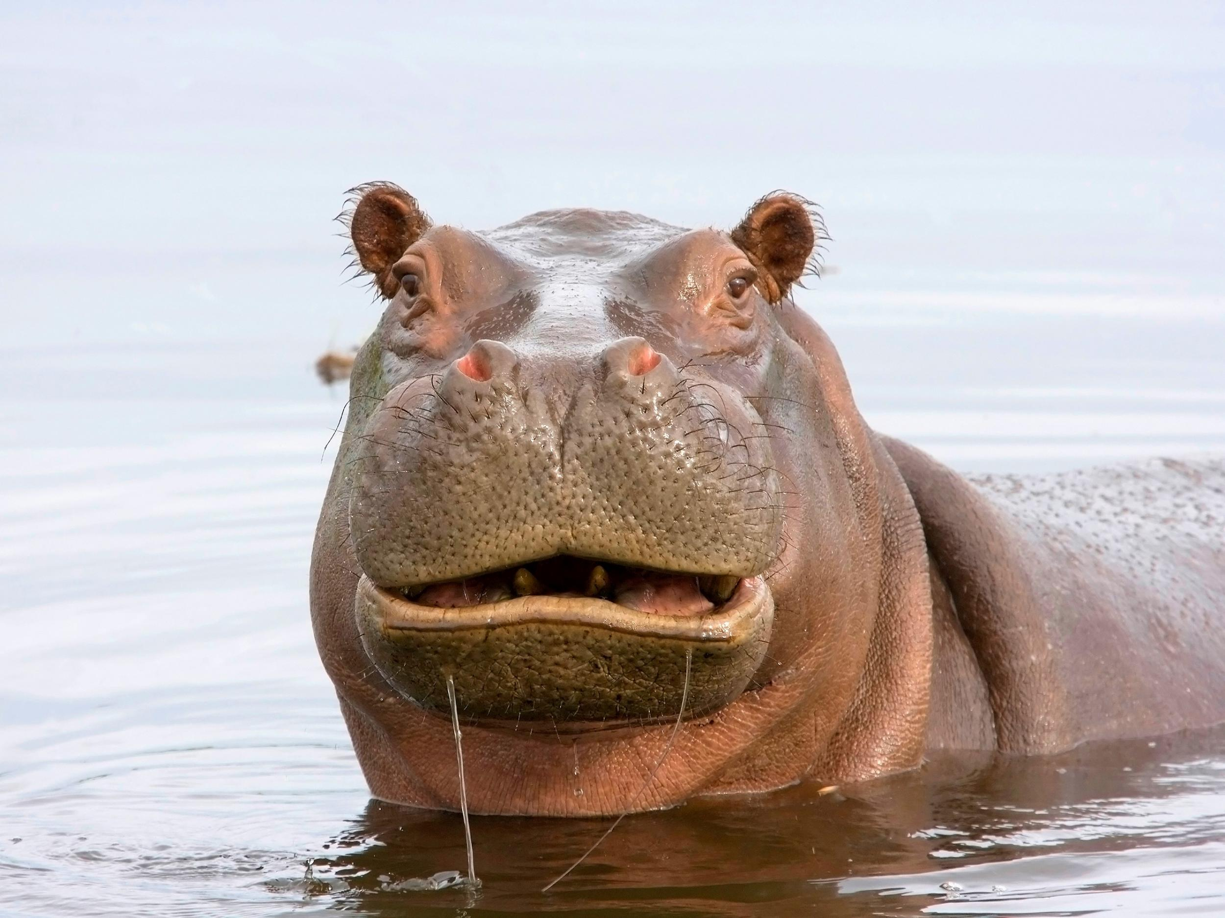 Hippo dung shortages caused by hunting could endanger fish and communities on Africa's great lakes, study shows