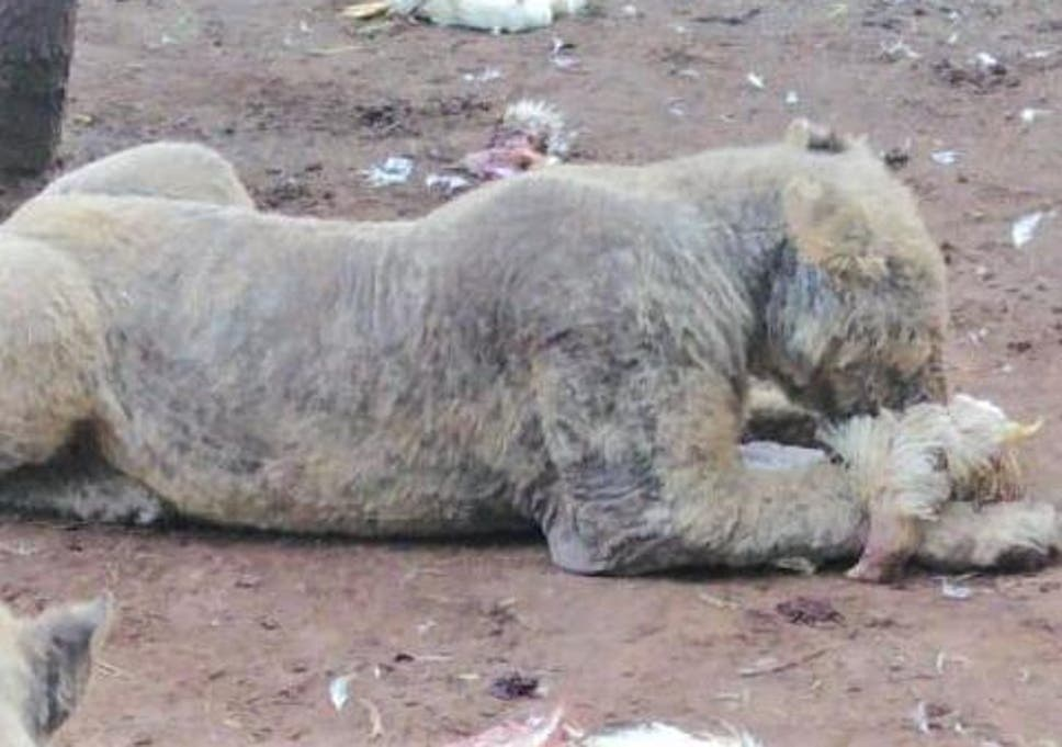 Lions cubs too sick to walk due to squalid conditions at