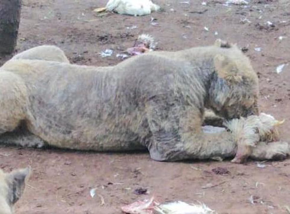 The captive-bred lions were bald from mange, a skin infection caused by mites that causes hair loss