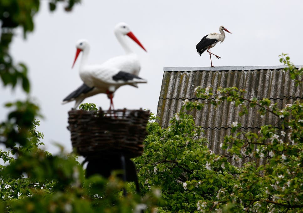 White storks spread across England for first time in 600