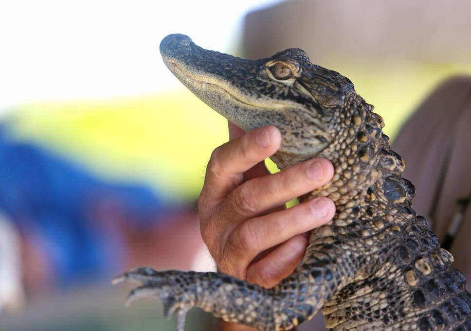 8e0024245e Florida's Fish and Wildlife Conservation Commission seized a foot-long  alligator and released it back