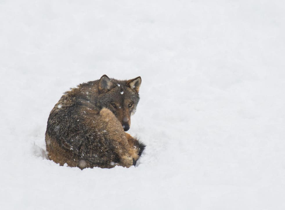 Wolves have an incredible ability to regenerate tattered, overgrazed landscapes