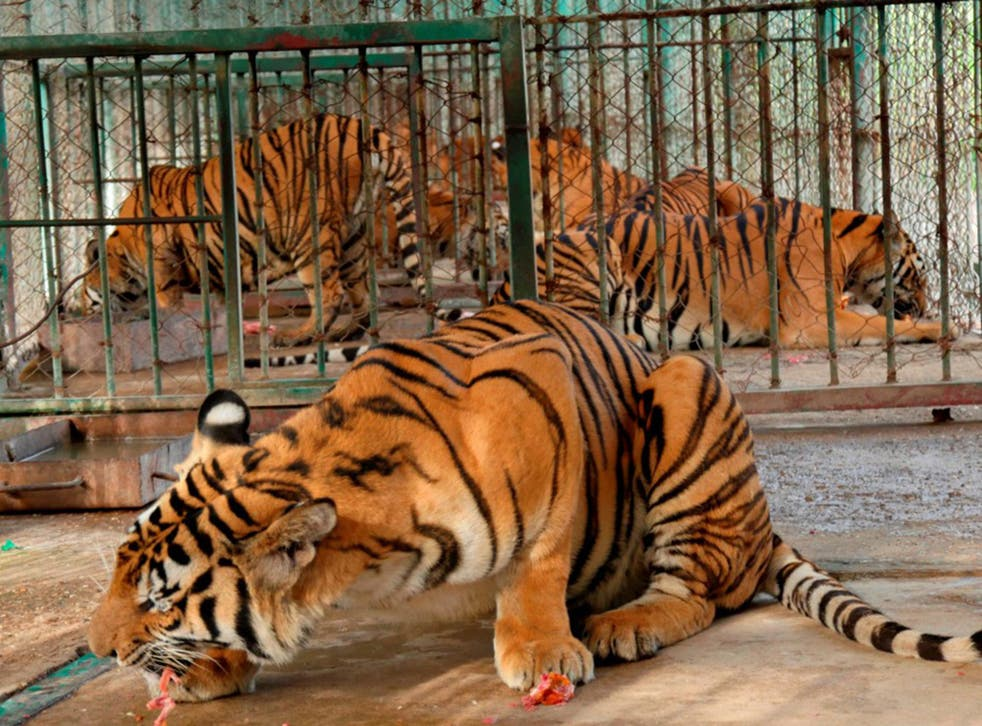 Caged tigers feed on raw chicken in cages in northern Laos