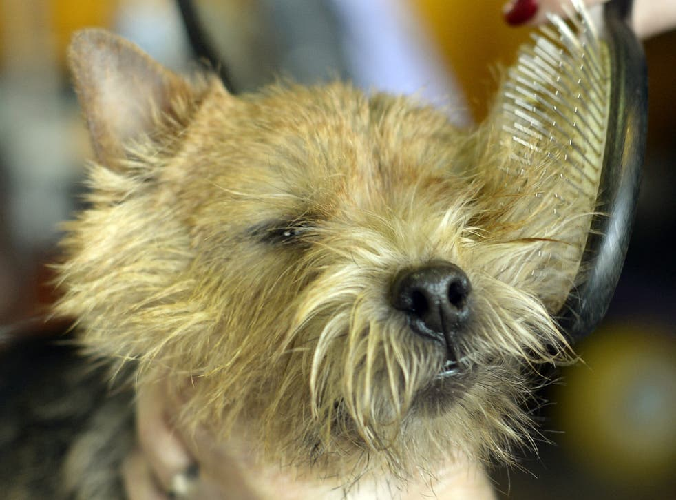 A Norwich terrier photographed in New York City