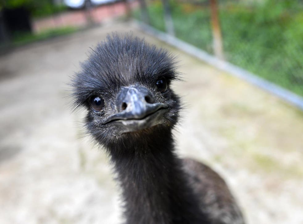 Emus can run at up to 30mph; the Ecclefechan escapee had been bought from a farm only 24 hours earlier