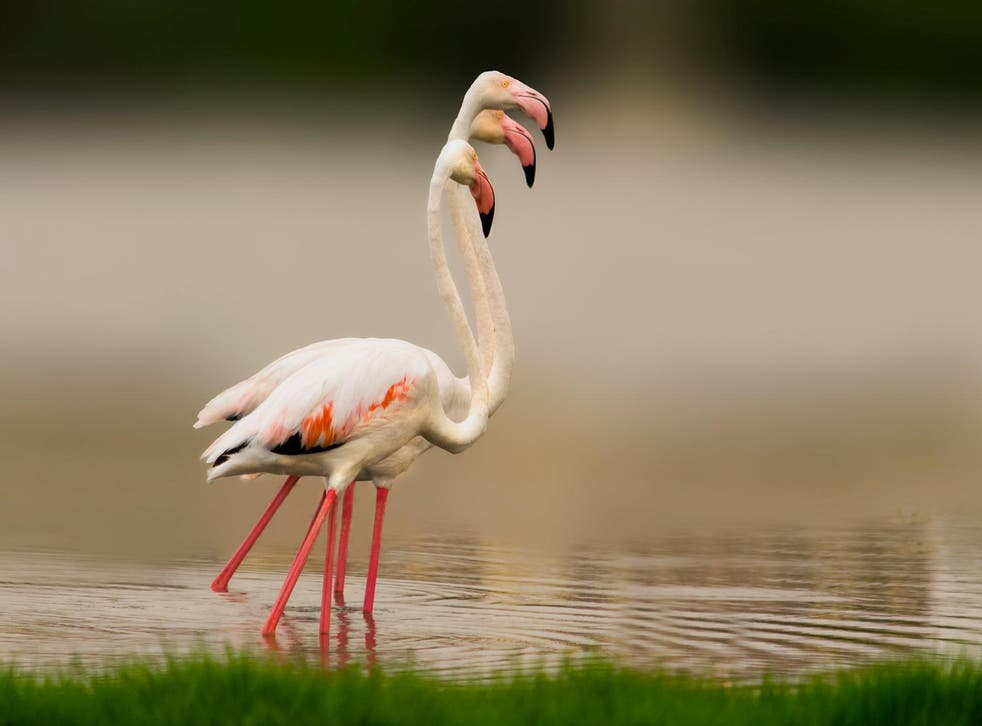 Flamingos are naturally found in the Middle East and in Africa