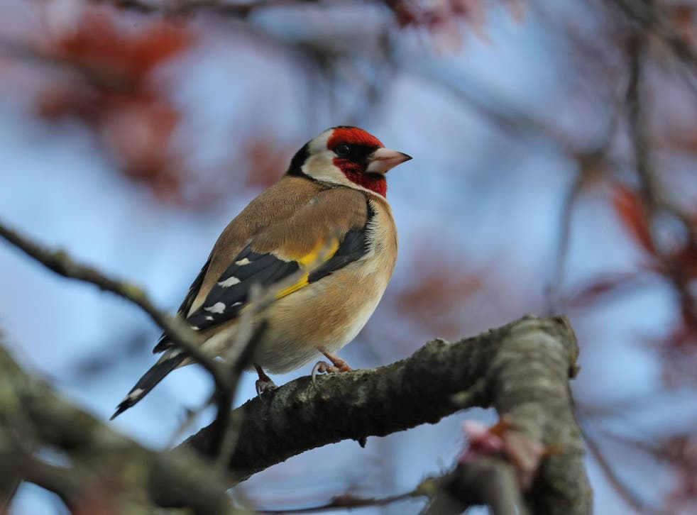 """British bird-lovers are """"reshaping entire bird communities"""" by leaving out food. Pictured is a goldfinch"""