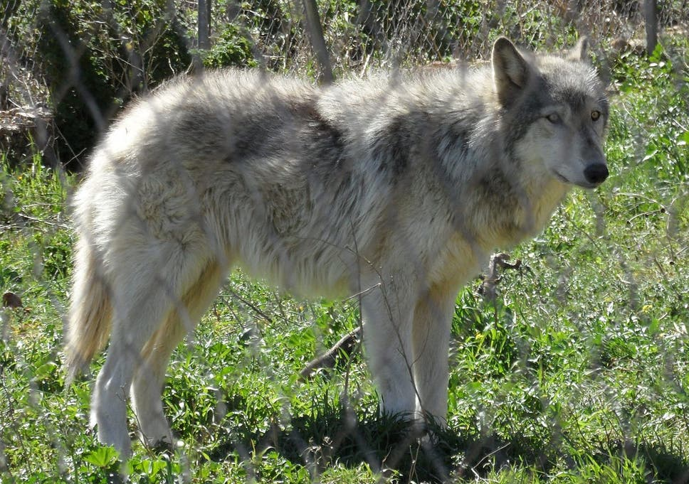 Swarms' of wolf-dog hybrids sweeping Europe, study reveals | The