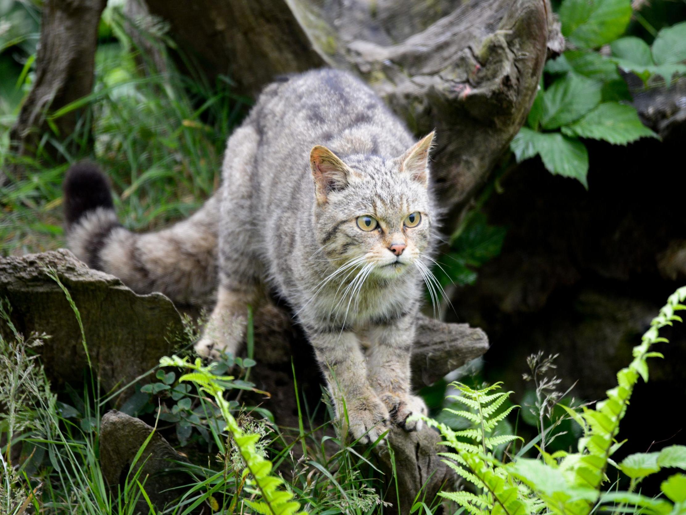Return of England's wildcats: animals to be reintroduced after being…