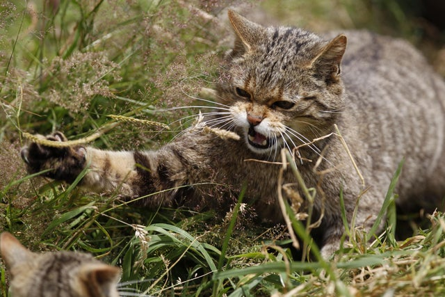 Return Of England S Wildcats Animals To Be Reintroduced After Being Declared Extinct In 19th Century The Independent The Independent