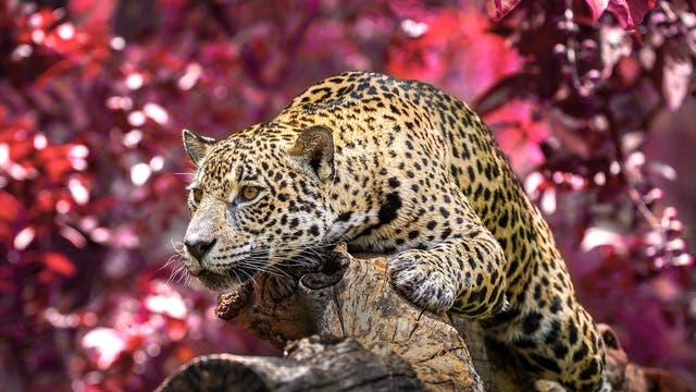 Endemic to the far east of Russia, the Amur Leopard has a population of around 84 and is critically endangered. Here follows every species that the WWF lists as critically endangered.