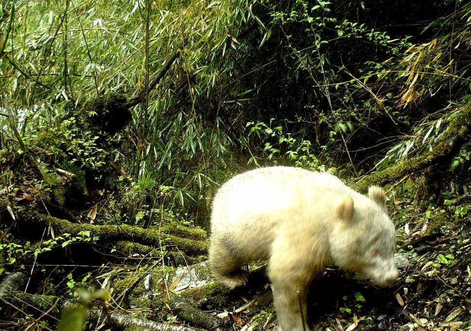 Albino panda photographed in Chinese nature reserve in world