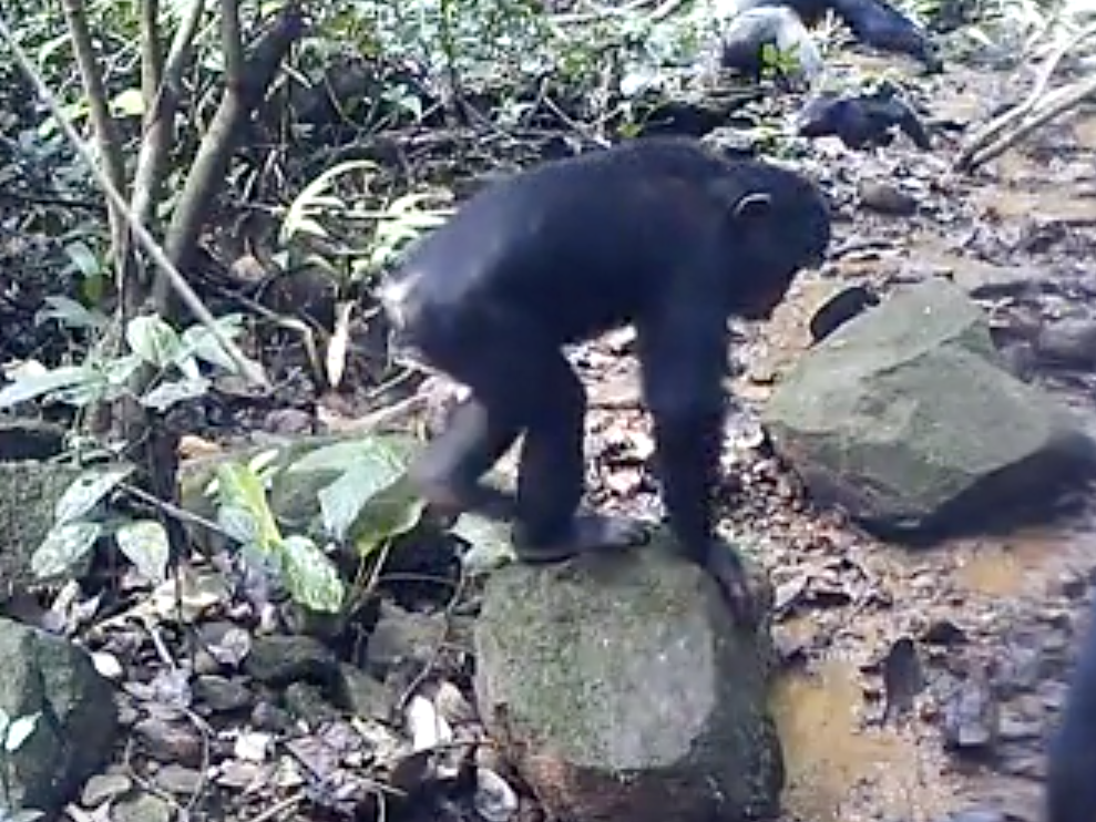 Chimpanzees caught fishing for crabs could shed light on our own
