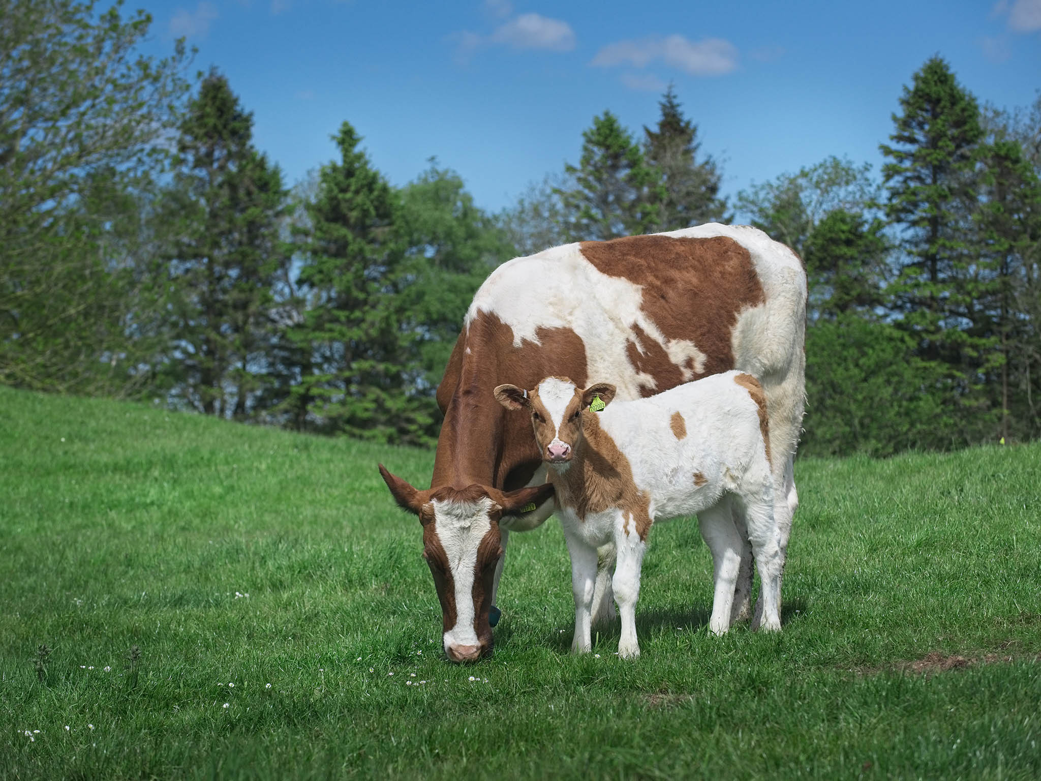 Is it time to introduce UK veal onto our menus? 1