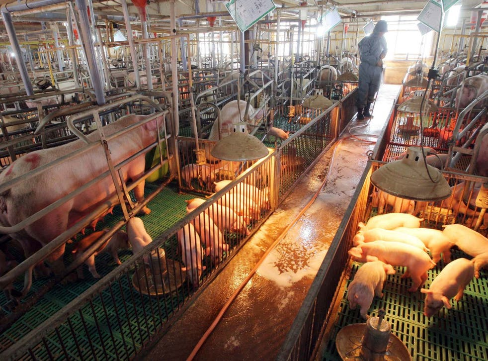 File image showing South Korean farmer spraying disinfectant to protect pigs from potential swine flu outbreak.