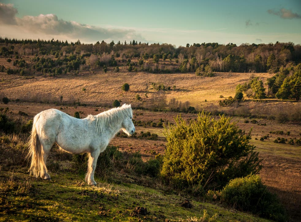 Ponies roam the New Forest, one of England's most popular nature locations