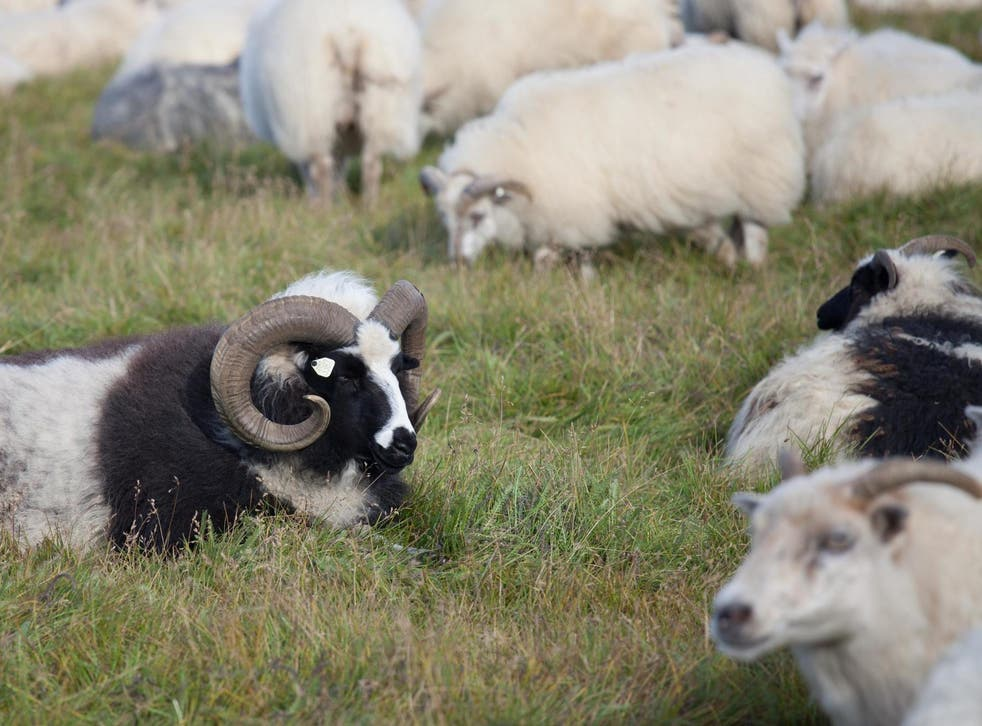 In the documentary a ram is shown with 30 ewes in season but has no interest in any of them (file photo)