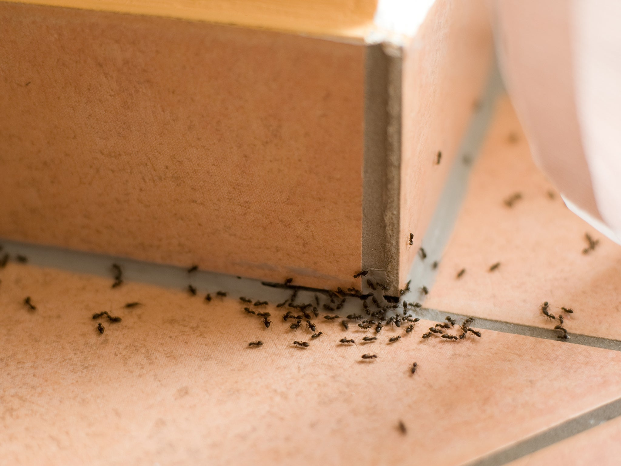 The secret to getting rid of ants permanently isn't harsh chemicals – it's bait and traps