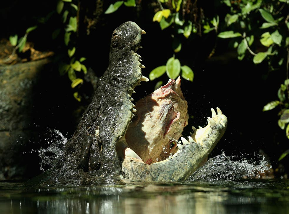 After poaching was banned in Australia in the 1970s, saltwater crocodile populations exploded