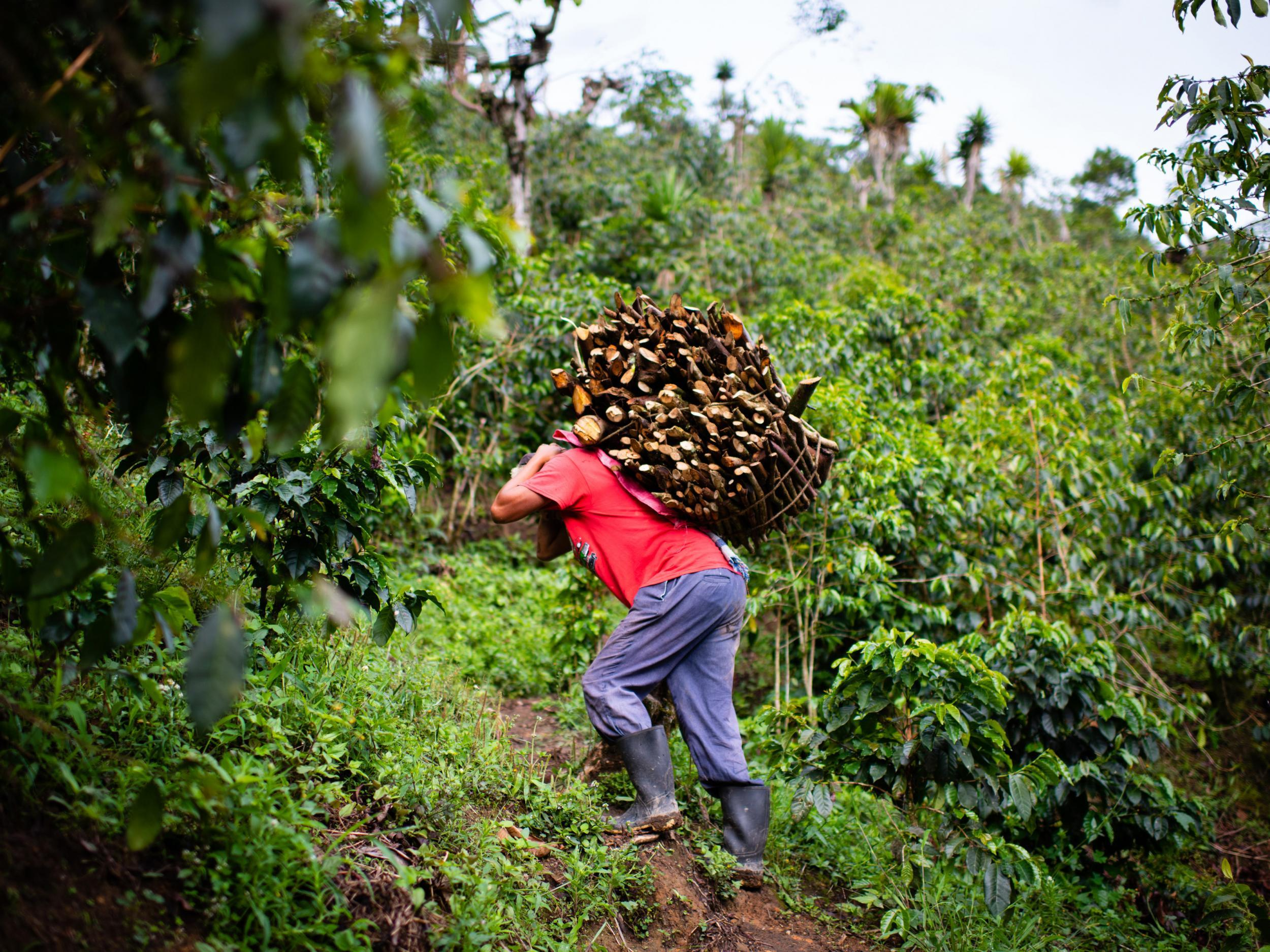 COFFEE CULTIVATION IN GUATEMALA LABORERS PICKING HARVESTING COFFEE PLANTATION