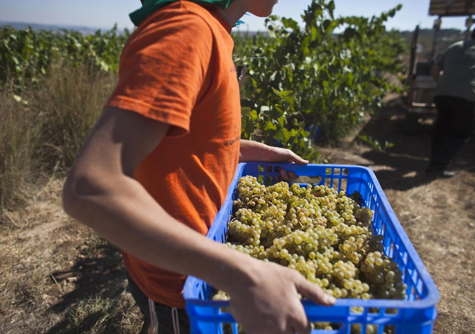 A volunteer carries grapes in an Israeli settlement vineyard in the West Bank