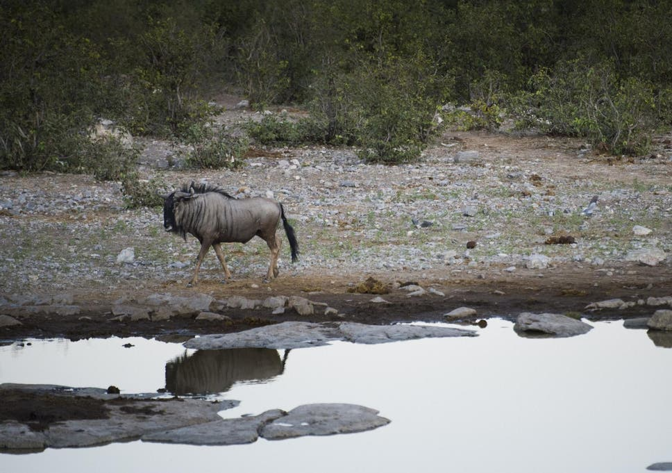 A wildebeest photographed in Namibia near a waterhole