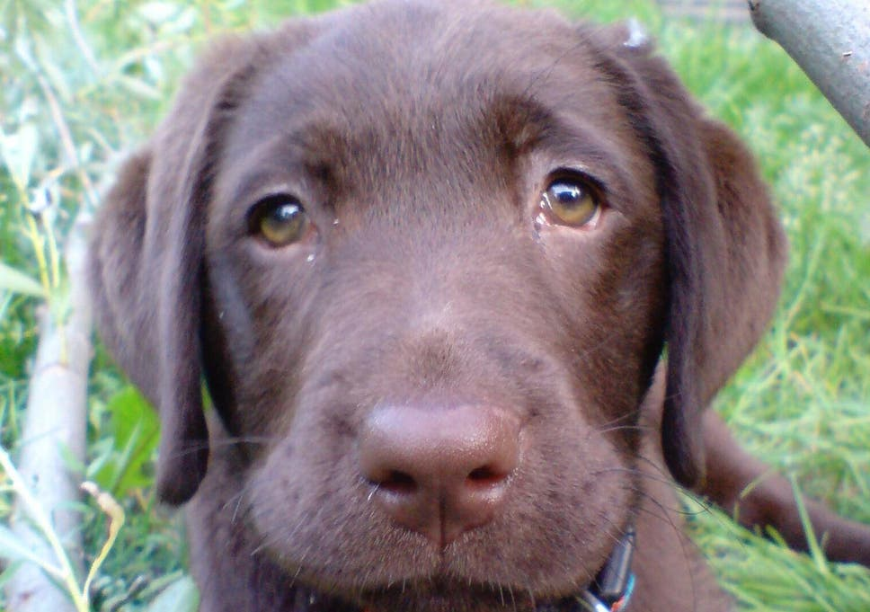Dogs Evolved 'puppy Dog Eyes' To Help Them Get On With Humans ... Dogs evolved 'puppy dog eyes' to help them get on with humans ... Dogs dog photos