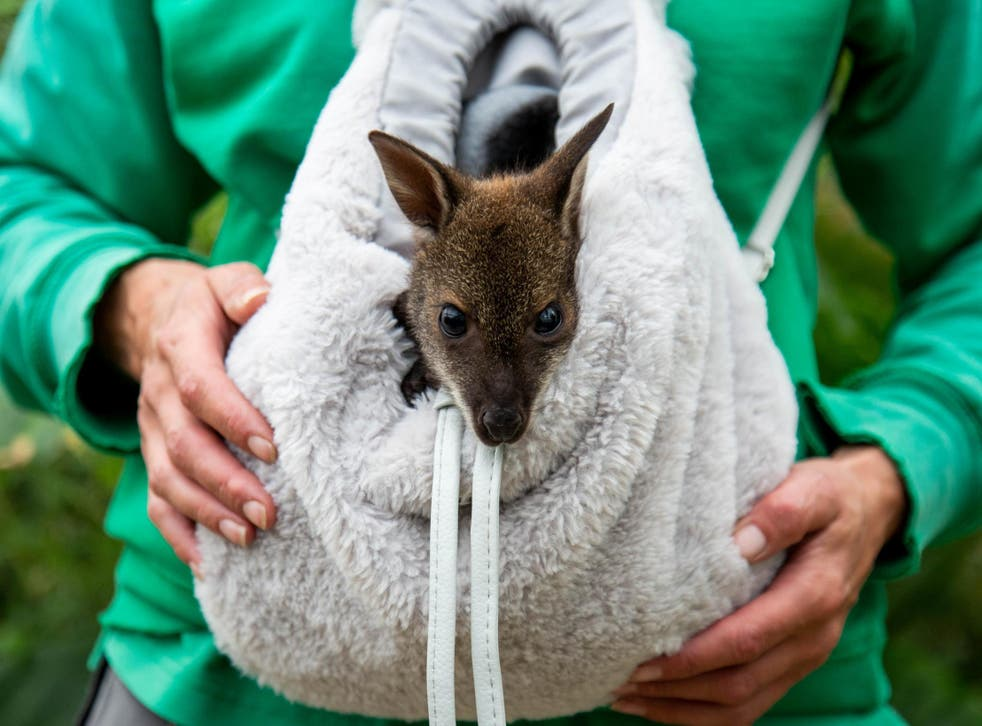 An orphaned Wallaby named Riley is being hand-reared in a rucksack by wildlife carer Julia Stewart at Studley Grange Butterfly World and Farm Park near Swindon, Wiltshire, after his mother died of pneumonia.