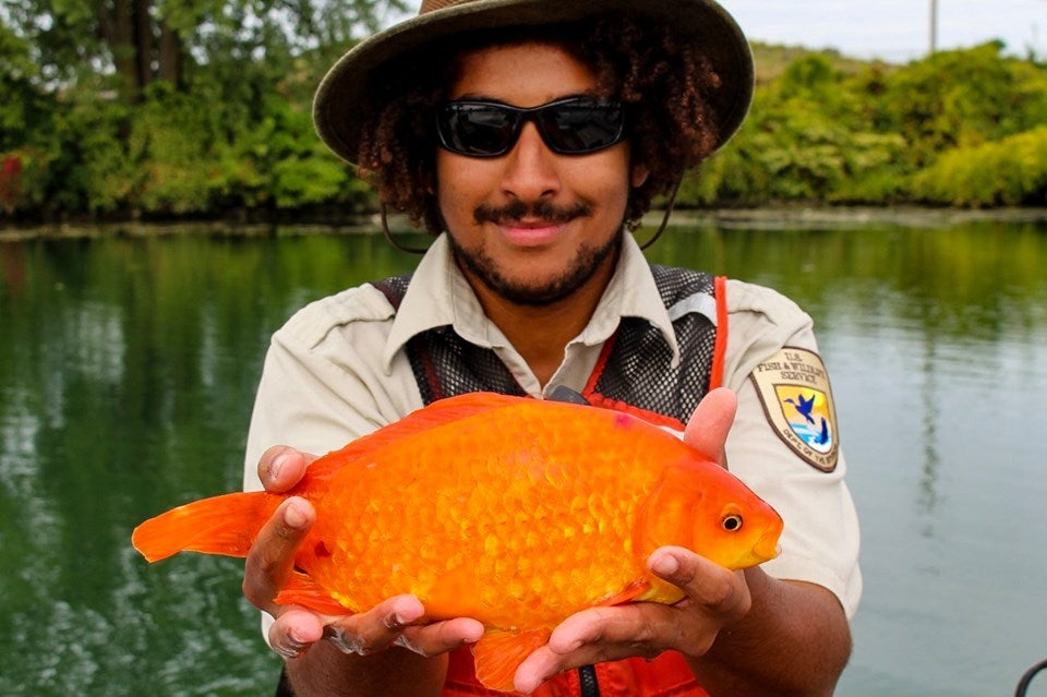 Goldfish flushed down toilet grows to size of small dog in river