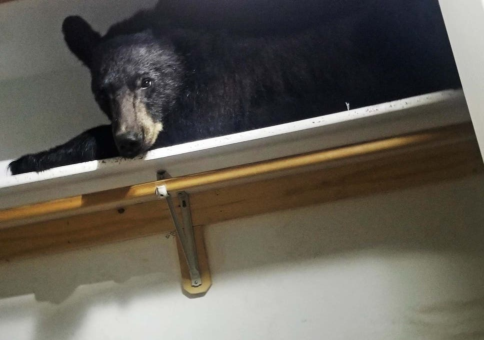 The bear was found on a cupboard shelf after locking the room door and shredding possessions
