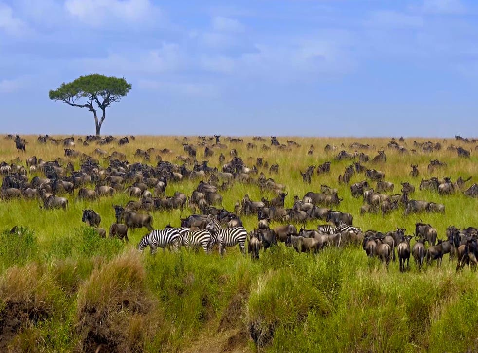 The great migration of wildebeest starts this month in Kenya