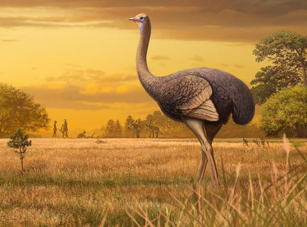 The 450kg flightless bird (artist's impression) may have been a source of meat, bones, feathers and eggshells for early humans