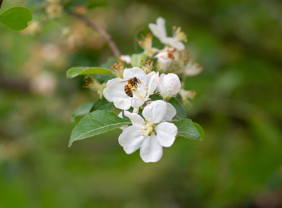 No bee viruses were found on flowers more than one kilometre from commercial sites, according to the study