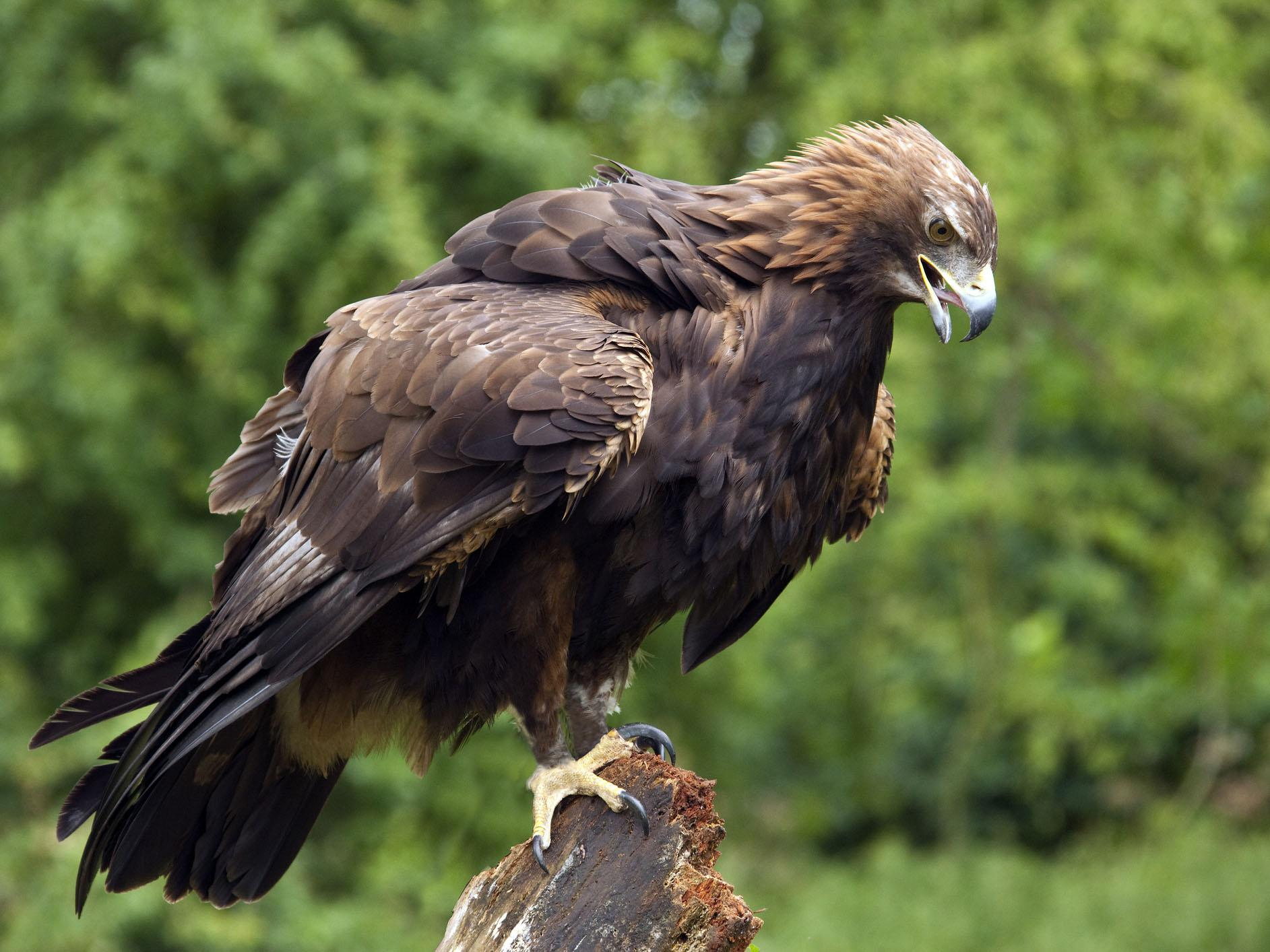 Young golden eagles disappear in mysterious circumstances