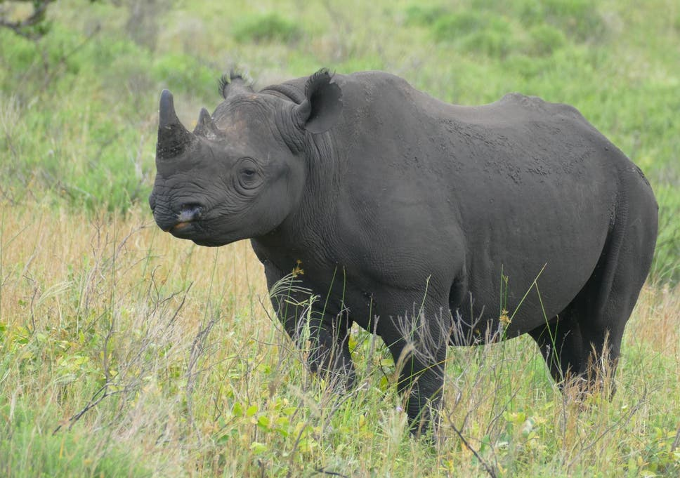 Rare black rhino dies on flight from UK to Africa, where he