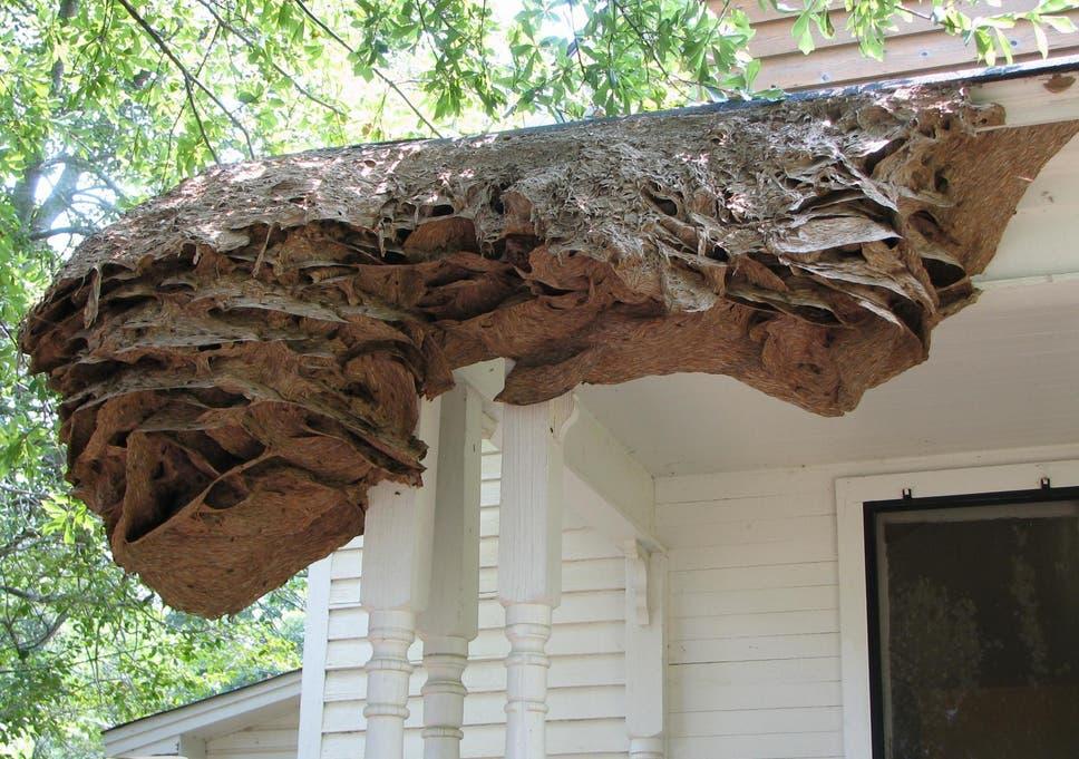 Wasps Nest In Attic Uk | Mice