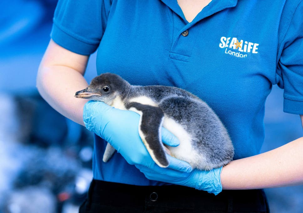 Same-sex penguin couple welcome first adopted chick at