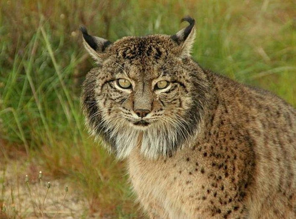 Instead of introducing the Eurasian lynx into the UK, Professor Thomas believes we should prioritise the Iberian lynx (pictured)
