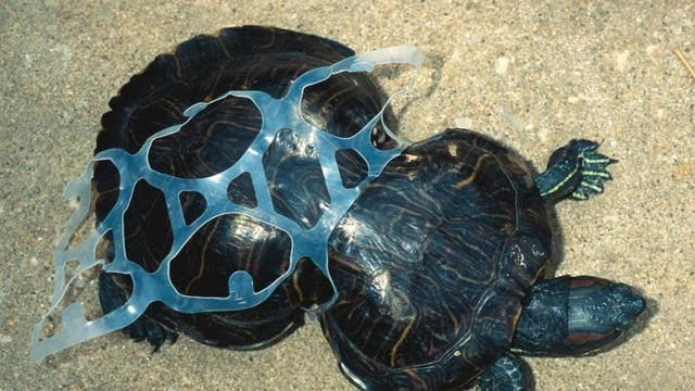 This turtle was caught in a plastic six-pack ring when young and became deformed as it grew while still trapped in the ring