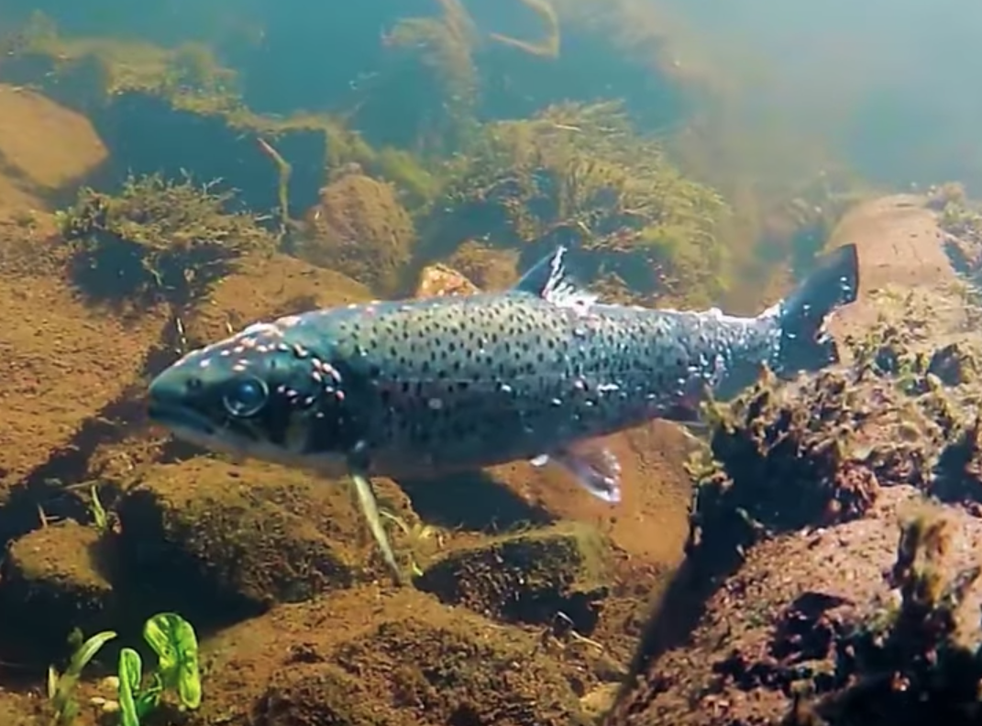 A young salmon with wounds from a sea lice infestation