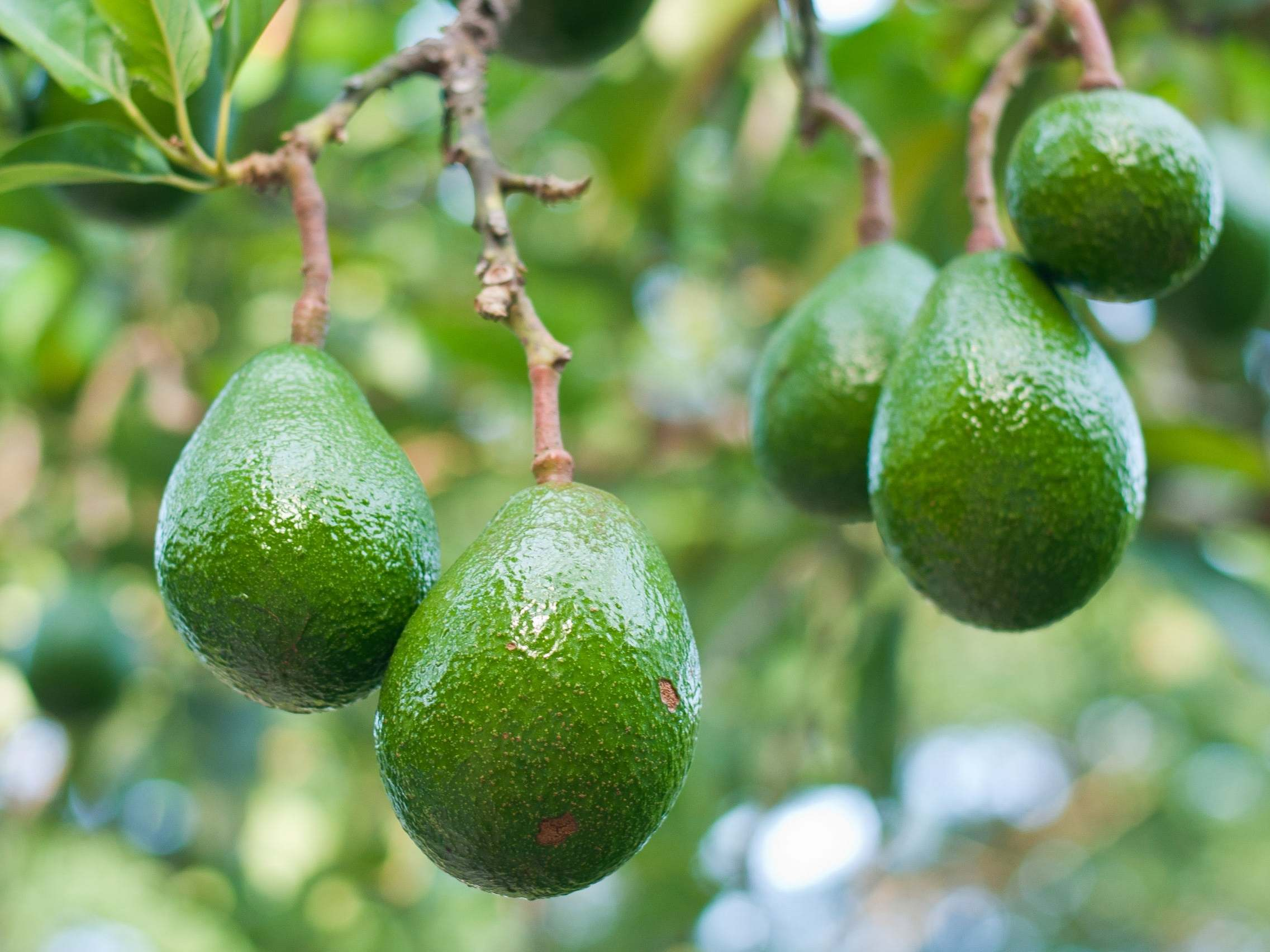 avocados - latest news, breaking stories and comment - The