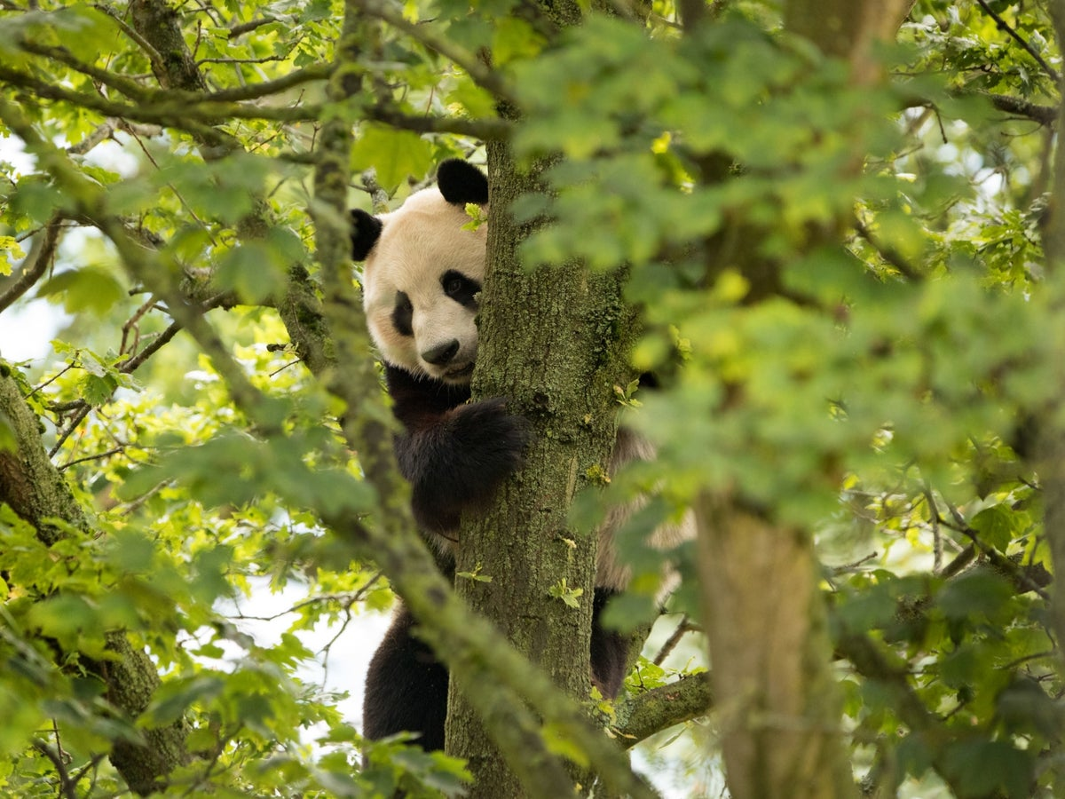 Giant Panda Suffers Electric Shock From Fence As Visitors Look On At Edinburgh Zoo The Independent The Independent