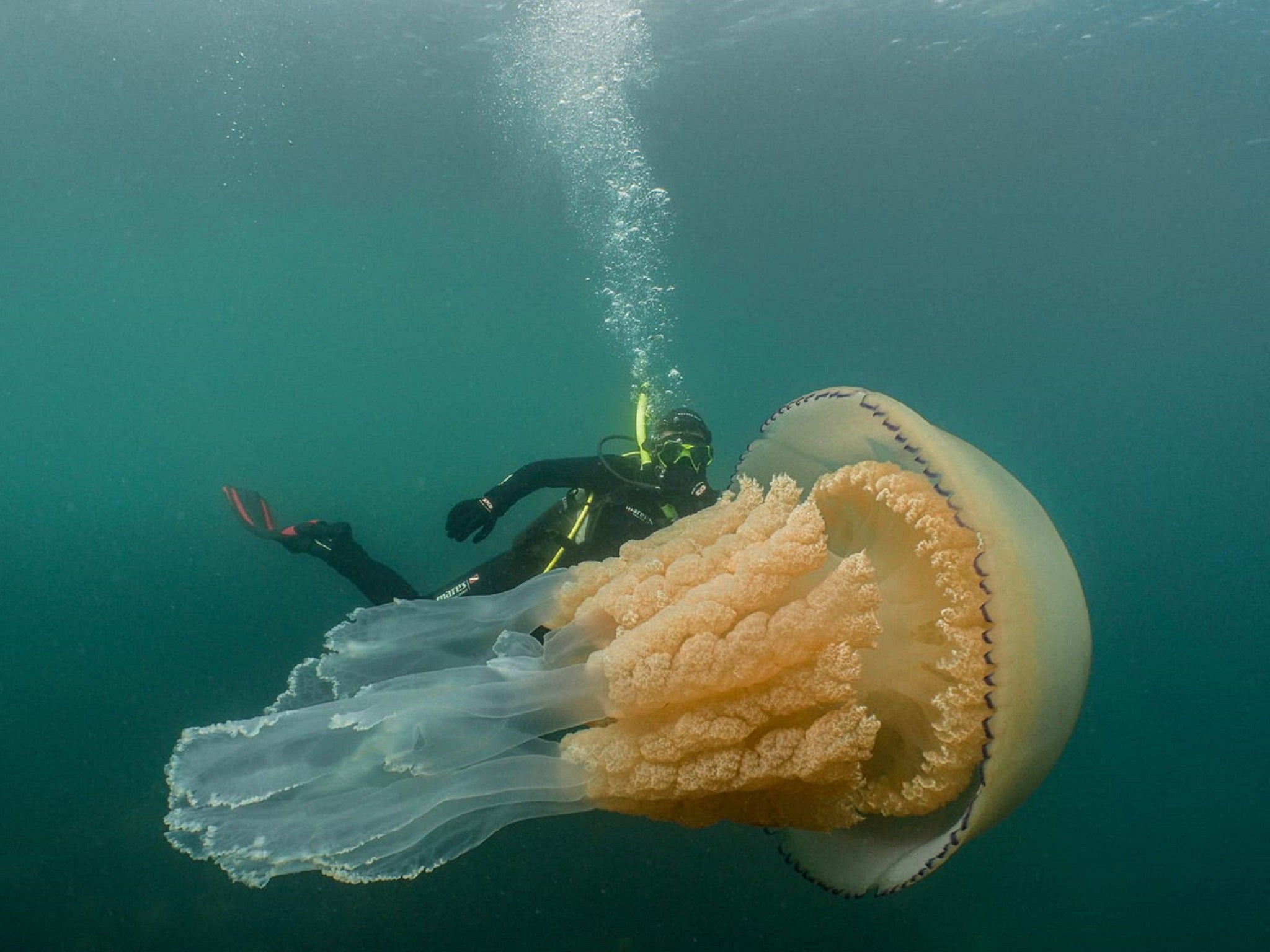 Giant jellyfish as big as diver appears off Cornish coast | The
