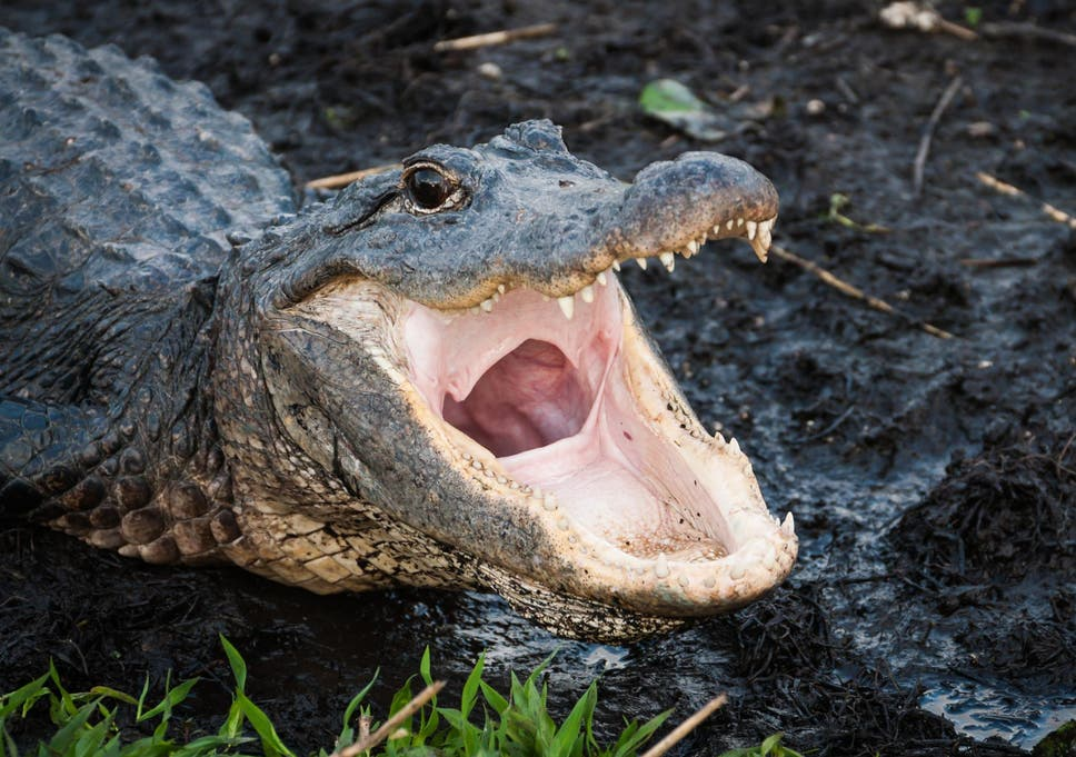 File image of aligator.