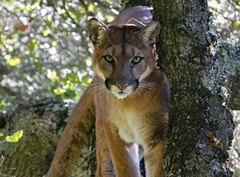 Pumas significantly reduced their activity when they heard human voices, the study found