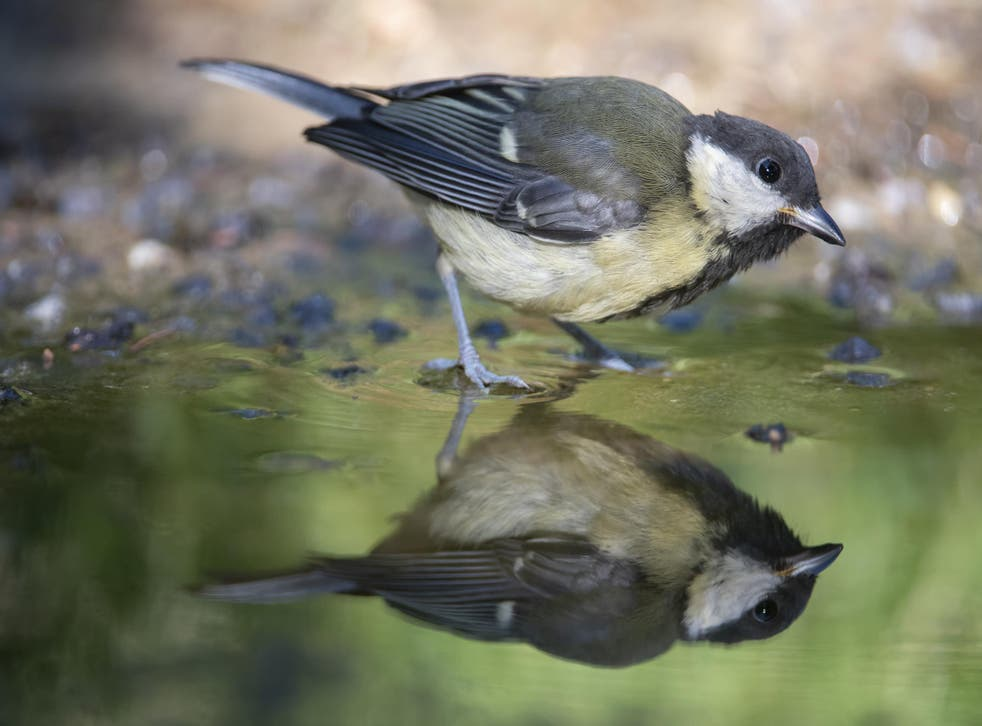 Researchers looked at 13 species in detail and found there was a risk of extinction for all but four of them. Pictured is a great tit