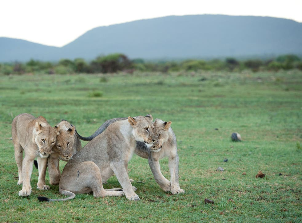 Skeletons from lions bred in captivity may be traded around the world