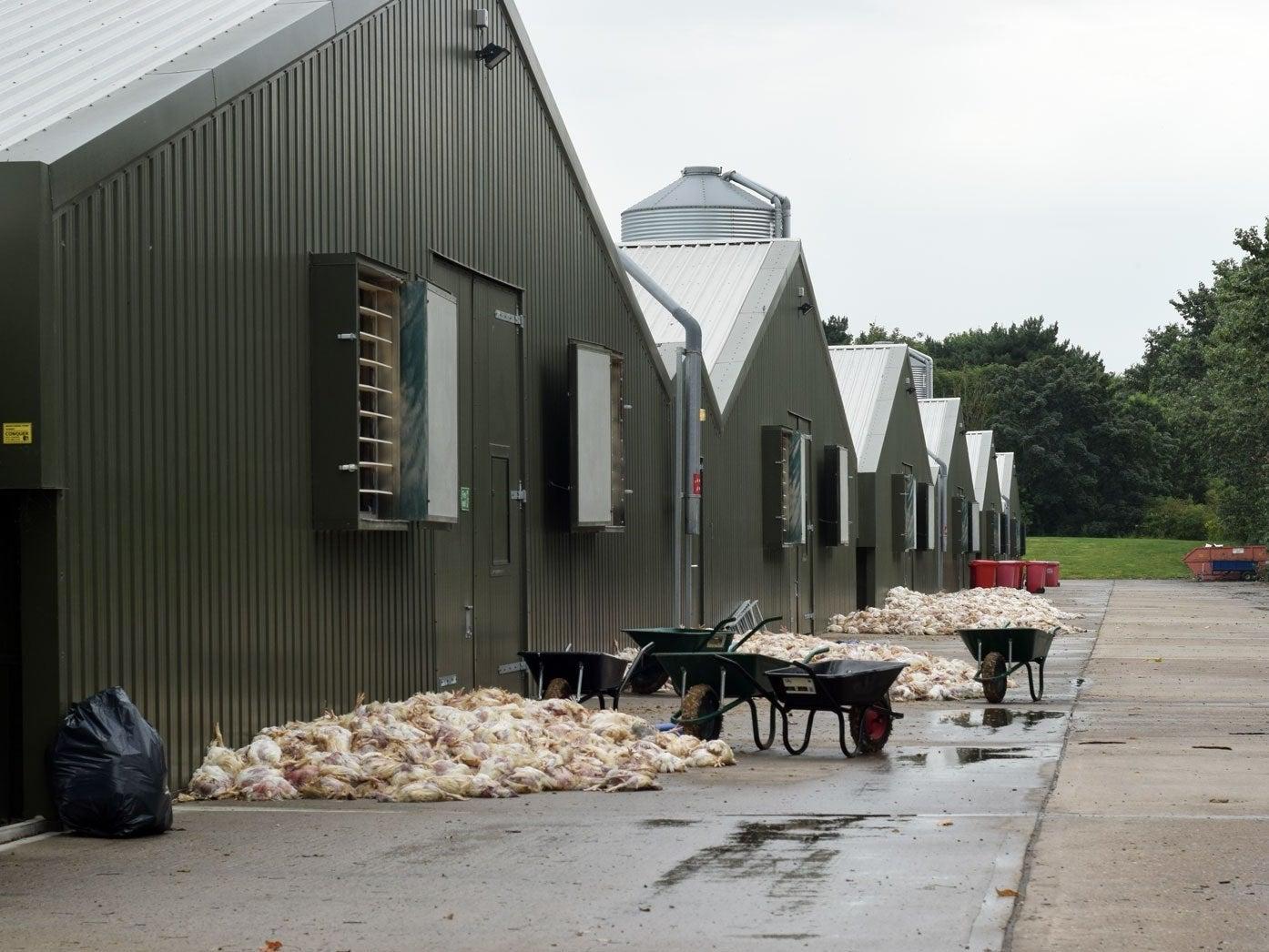 thousands of chickens die in heatwave at farm supplying